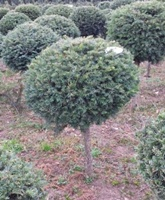 Taxus baccata (common yew) topiary standards