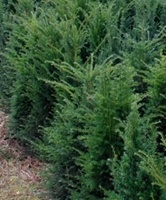 Taxus baccata hedging plants growing in a field