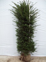 Taxus baccata (common yew) root balled hedging plant 175-200cm tall