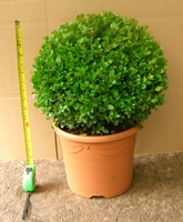 Buxus microphylla Faulkner 30-35cm ball