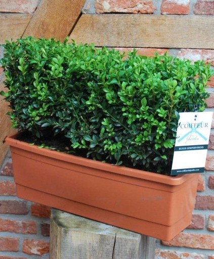 Buxus sempervirens instant hedging trough