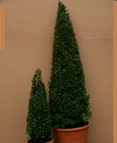 Buxus sempervirens cones