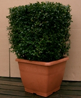 Buxus sempervirens (common box) topiary cubes