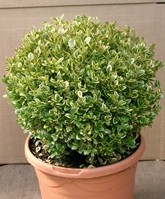 Golden variegated box ball
