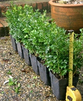 20-30cm tall instant box hedging