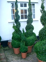 Buxus sempervirens 'Suffruticosa' Hedging Plants