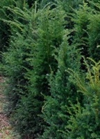 Taxus baccata hedging plant